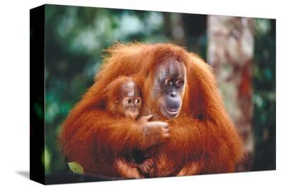 Orangutan and Baby--Stretched Canvas Print