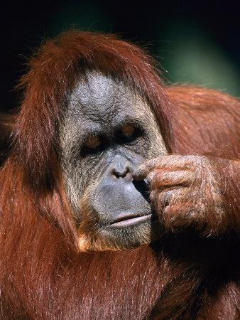 https://imgc.artprintimages.com/img/print/orangutan-borneo_u-l-p4gcz40.jpg?p=0