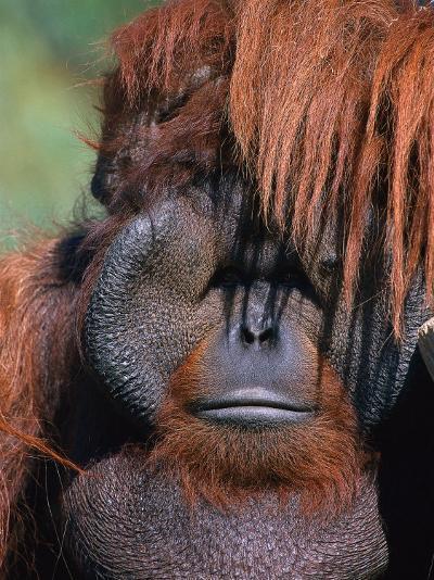 Orangutan, Borneo-Stuart Westmorland-Photographic Print