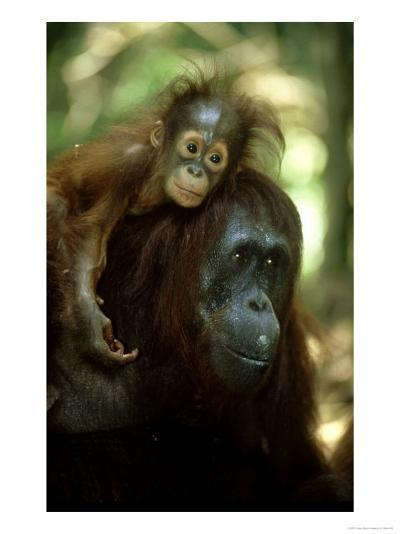 Orangutan, Female and Young, Borneo-Mike Hill-Photographic Print