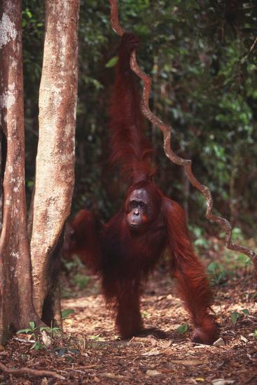 Orangutan Holding Vine near Rainforest-DLILLC-Photographic Print