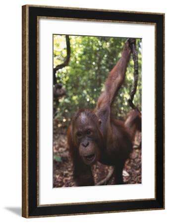 Orangutan in Forest-DLILLC-Framed Photographic Print