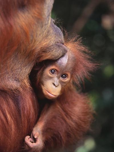 Orangutan Kissing Baby--Photographic Print