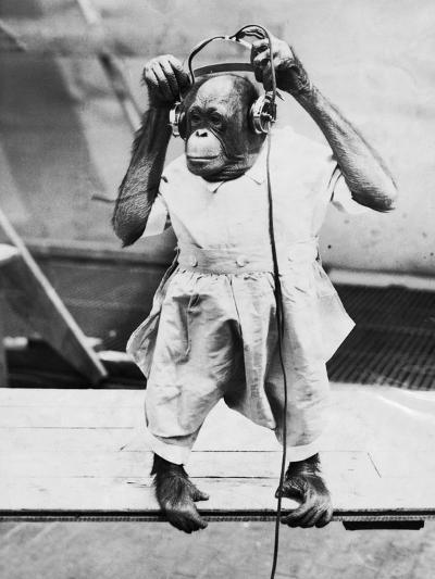Orangutan Listens to Headphones--Photographic Print