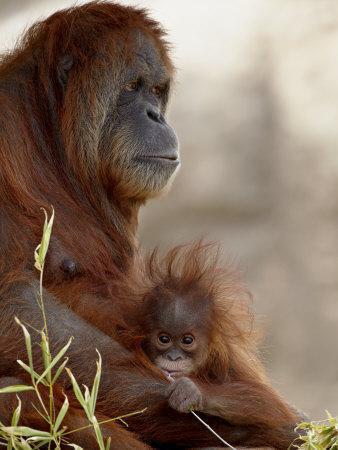 https://imgc.artprintimages.com/img/print/orangutan-mother-and-6-month-old-baby-in-captivity-rio-grande-zoo_u-l-p915in0.jpg?p=0