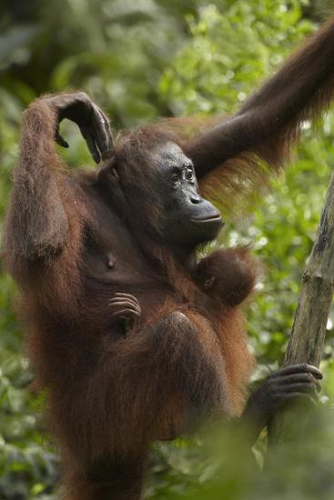 Orangutan Mother and Baby in a Tree, Sabah, Malaysia-Tim Fitzharris-Photographic Print