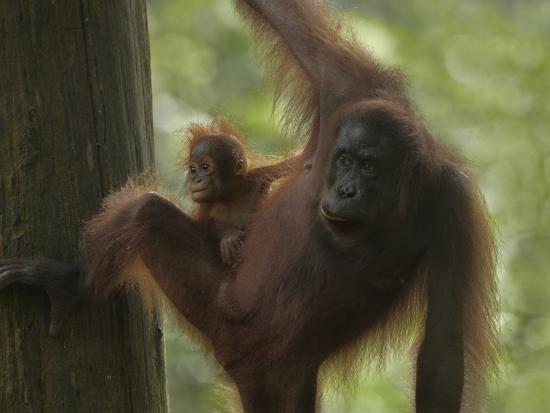Orangutan Mother with its Baby, Sabah, Malaysia-Tim Fitzharris-Photographic Print