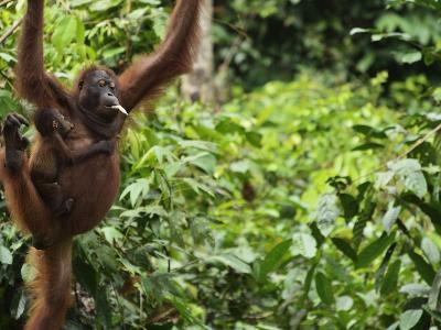 Orangutan (Pongo Borneo), Sabah, Borneo, Malaysia, Southeast Asia, Asia-Jochen Schlenker-Photographic Print