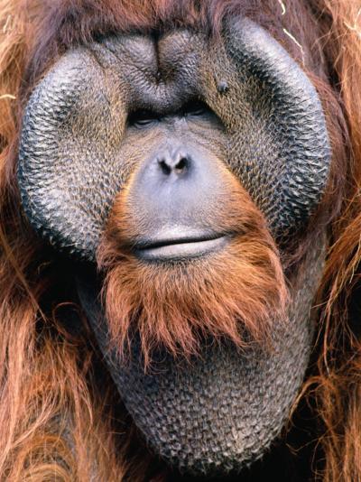 Orangutan (Pongo Pygmaeus), Indonesia-Mark Newman-Photographic Print