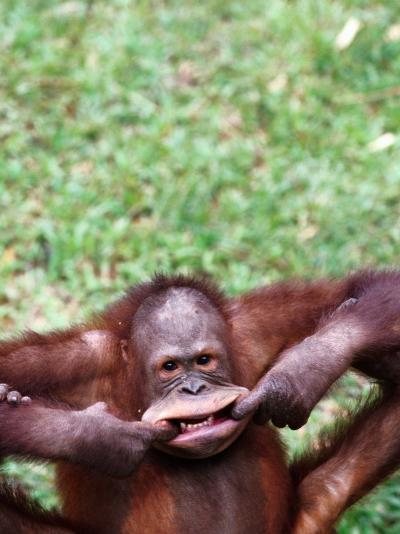 Orangutan Pulling a Face at the Matang Wildlife Centre, Kuching, Sarawak, Malaysia-John Banagan-Photographic Print