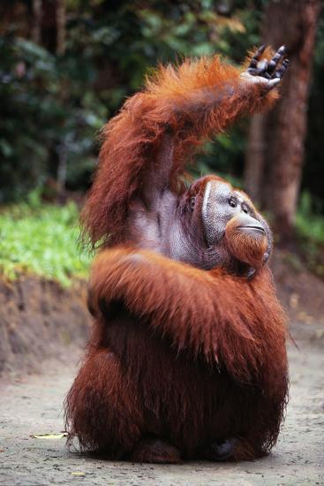 Orangutan Reaching Up-DLILLC-Photographic Print