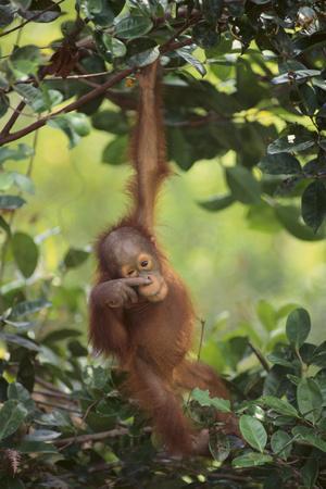 https://imgc.artprintimages.com/img/print/orangutan_u-l-pzrf530.jpg?p=0