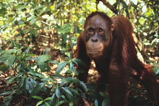 Orangutan-DLILLC-Photographic Print