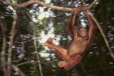 https://imgc.artprintimages.com/img/print/orangutan_u-l-pzrj2o0.jpg?p=0