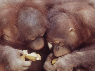 Orangutans in Captivity, Sandakan, Soabah, and Malasia, Town in Br. North Borneo-Co Rentmeester-Photographic Print