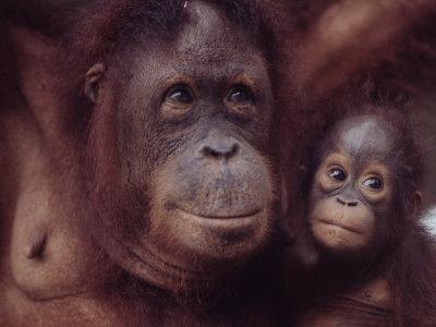 https://imgc.artprintimages.com/img/print/orangutans-in-captivity-sandakan-soabah-and-malasia-town-in-br-north-borneo_u-l-p68q5t0.jpg?p=0