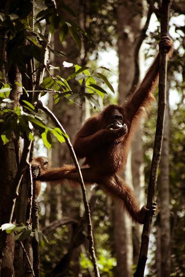 Orangutans in the Semenggoh Nature Reserve on the Island of Borneo in Malaysia-D. Scott Clark-Photographic Print
