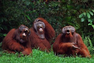 Orangutans Laughing-DLILLC-Photographic Print