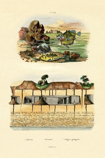 Orbicula Shell, 1833-39--Giclee Print