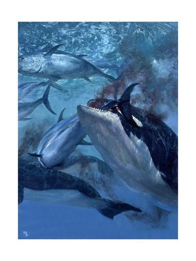 Orca and Tuna, 1973: a School of Giant Bluefin Tuna Becomes Food for a Pod of Killer Whales-Stanley Meltzoff-Giclee Print