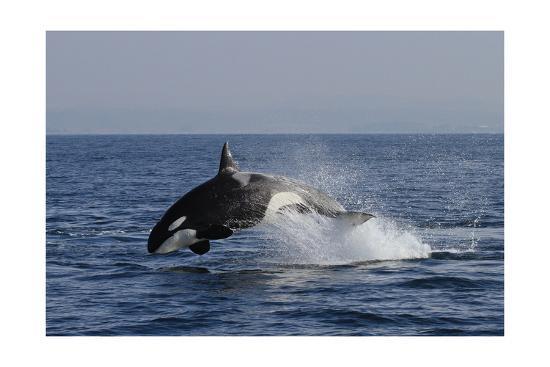 Orca Jumping-Lantern Press-Art Print