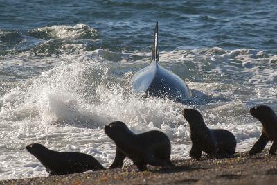 Orca (Orcinus Orca) Hunting Sea Lion Pups, Peninsula Valdez, Patagonia Argentina-Gabriel Rojo-Photographic Print