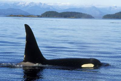 Orca Whale Male--Photographic Print