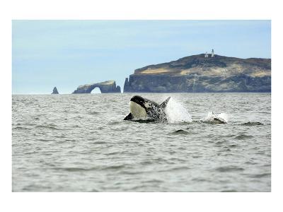 Orca Whale with Dolphin-Steve Munch-Art Print
