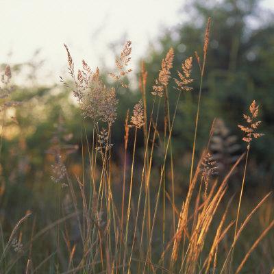 https://imgc.artprintimages.com/img/print/orchard-grass-washington_u-l-p940lm0.jpg?artPerspective=n