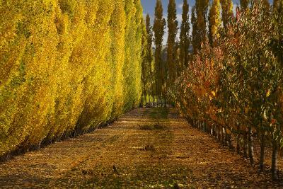Orchard in Autumn, Ripponvale, Cromwell, Central Otago, South Island, New Zealand-David Wall-Photographic Print
