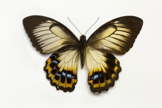 Orchard Swallowtail Butterfly Female, Wing Top and Bottom-Darrell Gulin-Photographic Print