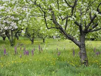 Orchard with Flowering Orchids and Wildflowers, Provence, Southern France-Konrad Wothe-Photographic Print