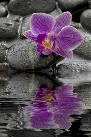 Orchid Blossom on Black Stones, Water, Reflection-Uwe Merkel-Photographic Print