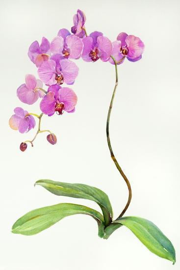 Orchid Botanical, 2013-John Keeling-Giclee Print