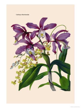 https://imgc.artprintimages.com/img/print/orchid-cattleya-harrisoniae_u-l-p2bu450.jpg?p=0