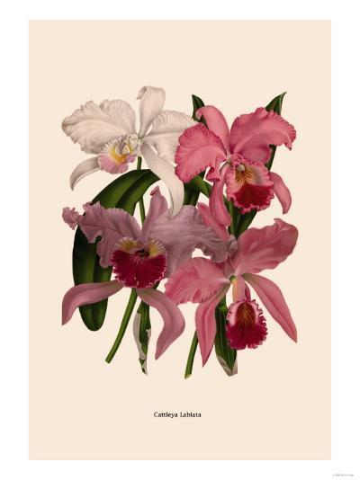 Orchid: Cattleya Labiata--Art Print