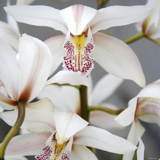 Orchid Closeup I-Nicole Katano-Photo