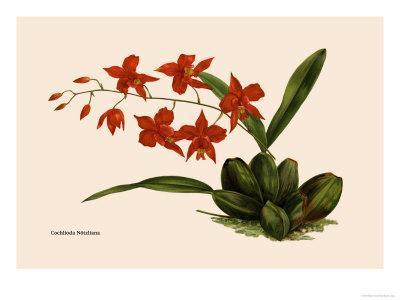 https://imgc.artprintimages.com/img/print/orchid-cochlioda-notzliana_u-l-p2bu150.jpg?p=0