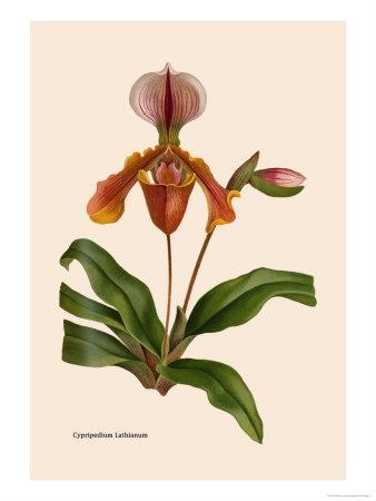 https://imgc.artprintimages.com/img/print/orchid-cypripedium-lathianum_u-l-p2btzn0.jpg?p=0