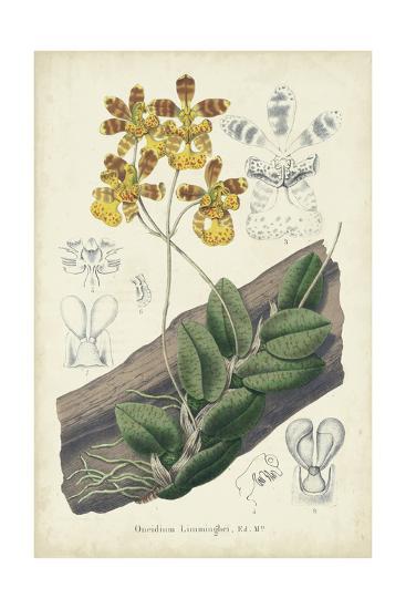 Orchid Delight I-George Severeyns-Art Print