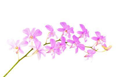 Orchid Flower-Butterfly hunters-Photographic Print