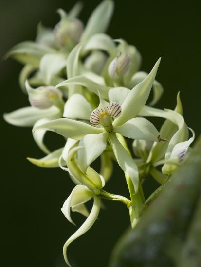 Orchid Flowers at a Botanical Garden in Costa Rica-Michael Melford-Photographic Print