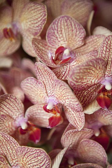 Orchid I-Karyn Millet-Photographic Print