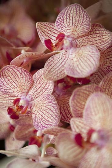Orchid II-Karyn Millet-Photographic Print