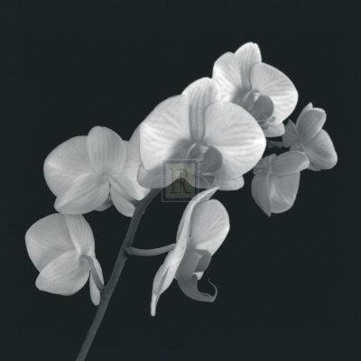 https://imgc.artprintimages.com/img/print/orchid-illusion-i_u-l-f31ya00.jpg?p=0
