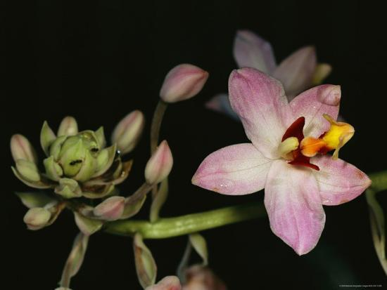 Orchid in Bloom with Ants Crawling over a Closed Blossom-Tim Laman-Photographic Print