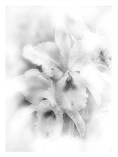 Orchid Magena-Maria Trad-Giclee Print