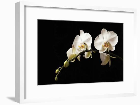 Orchid on Black-Karyn Millet-Framed Photographic Print