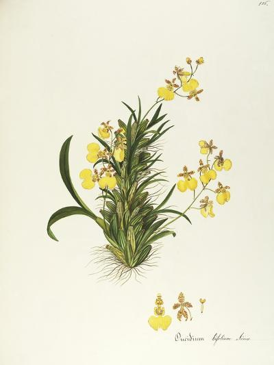 Orchid (Oncidium Bifolium Sims), Orchidaceae by Maddalena Lisa Mussino, Watercolour, 1858--Giclee Print