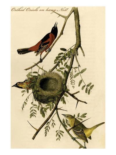 Orchid Oriole on Hang Nest-John James Audubon-Art Print